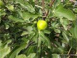 Инжир Далматский плод