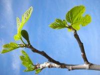 Выращивание инжира в украине в открытом грунте 71