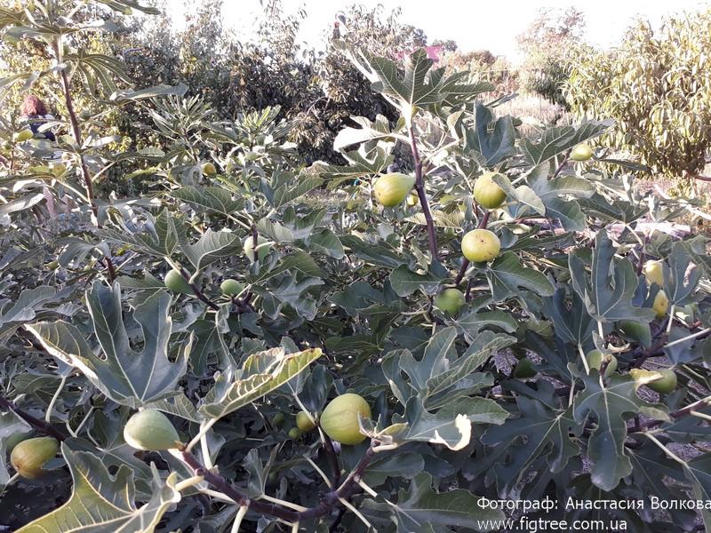 Инжир Далматский плоды